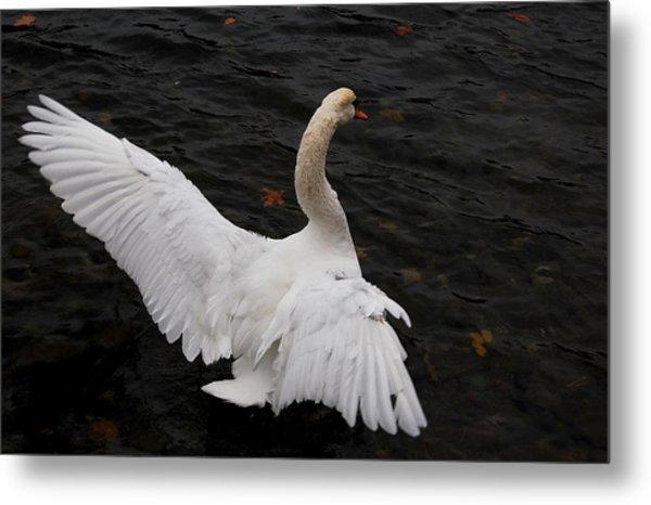 Swan Airing Out Wings Metal Print