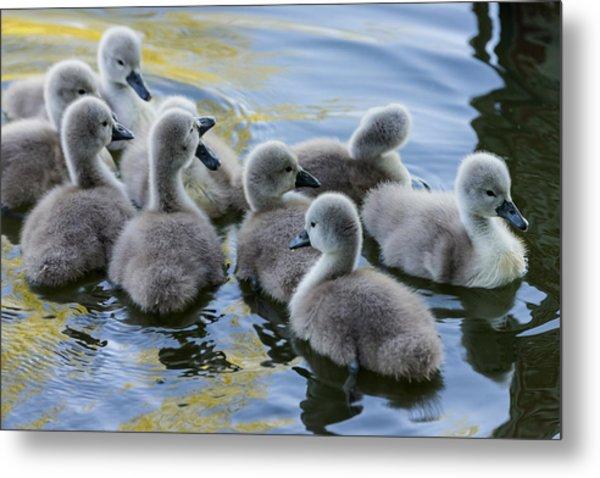 Swan Babies Metal Print