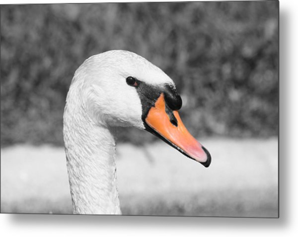 Swan Closeup Metal Print