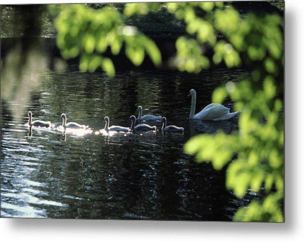 Swan Family In A Lake, Middleton Place Metal Print
