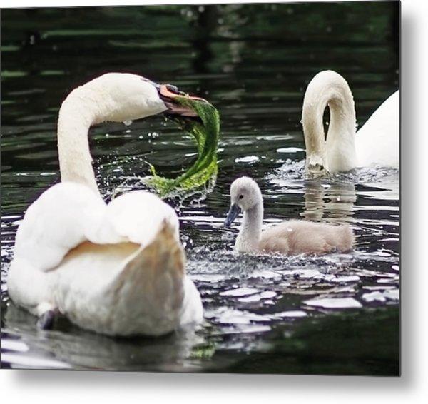 Swan Family Meal Metal Print