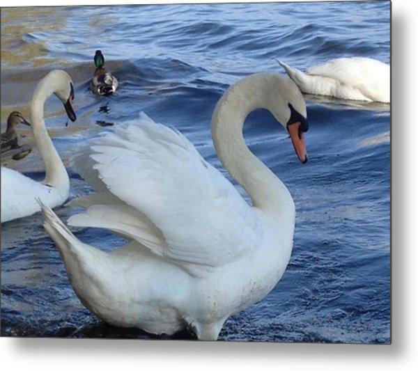 Swan Grace Metal Print