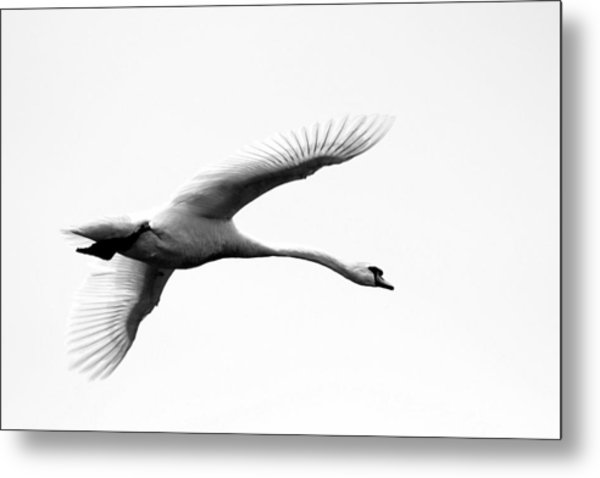 Swan In Flight Black And White Metal Print by Diane Rada
