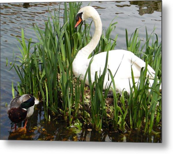 Swan Nesting Metal Print