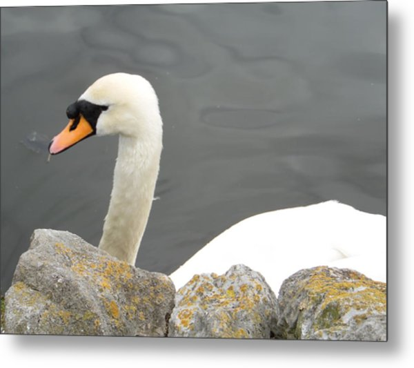 Swanness Metal Print