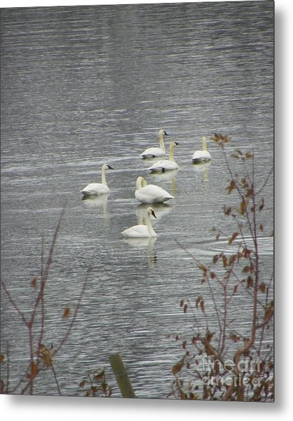 Swans A Swimming Metal Print