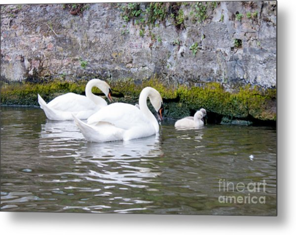 Swans And Cygnets In Brugge Canal Belgium Metal Print