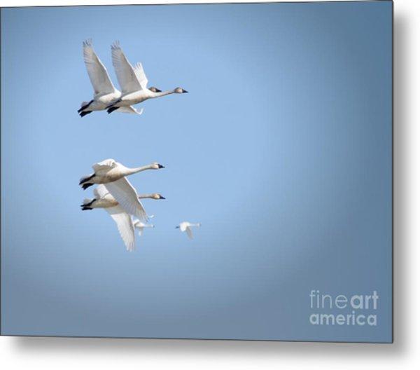 Swans In Flight Metal Print
