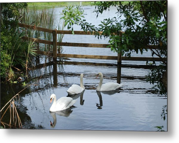 Swans In The Pond Metal Print