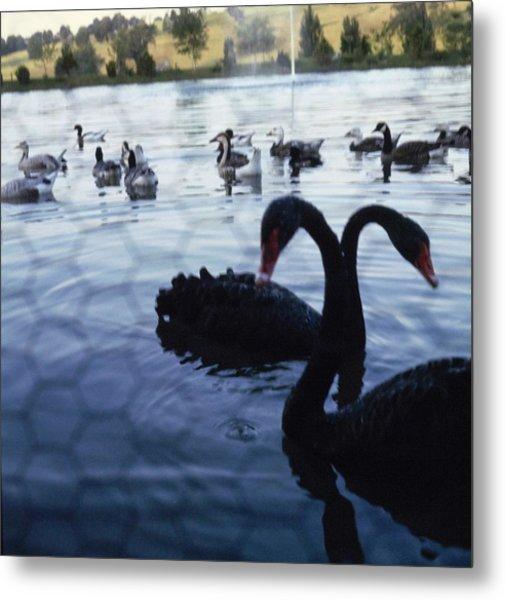 Swans On Mary Woodard Lasker's Pond Metal Print