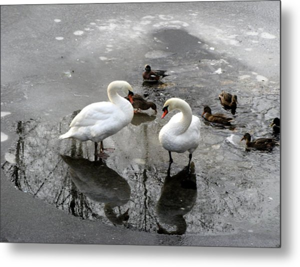 Swans On Thin Ice Metal Print