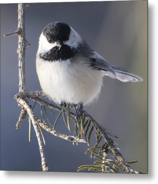 Sweet Chickadee Metal Print by John Kunze
