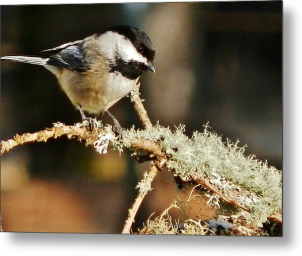 Sweet Little Chickadee Metal Print