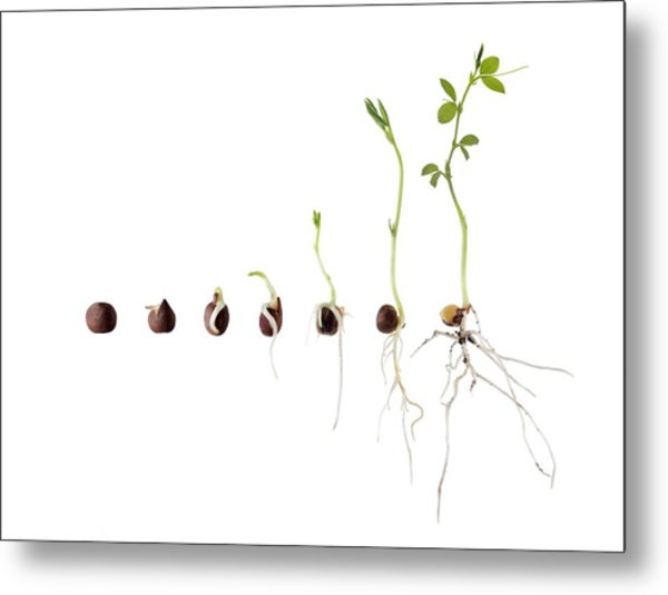 Sweet Pea Seed Germination Sequence Metal Print
