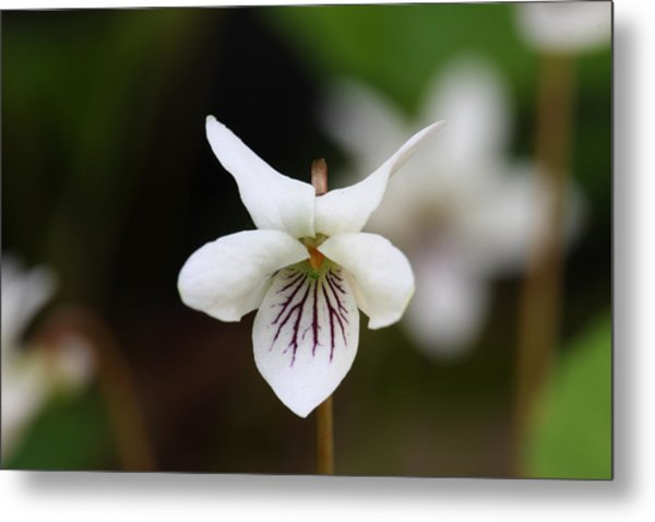 Metal Print featuring the photograph Sweet White Violet by Daniel Reed