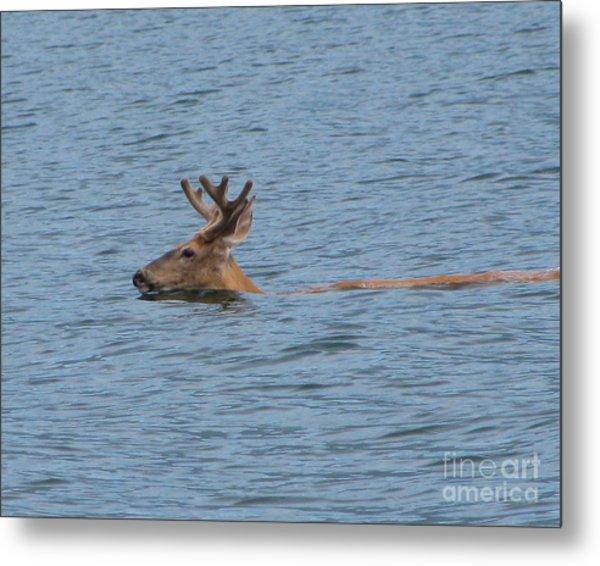 Swimming Deer Metal Print