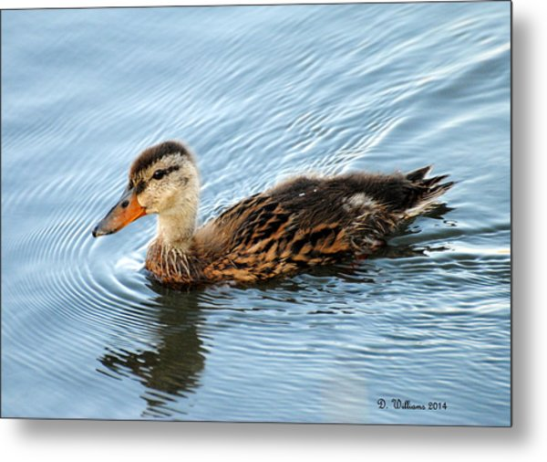 Swimming Mallard Hen Metal Print