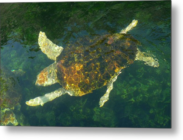 Swimming Turtle Metal Print