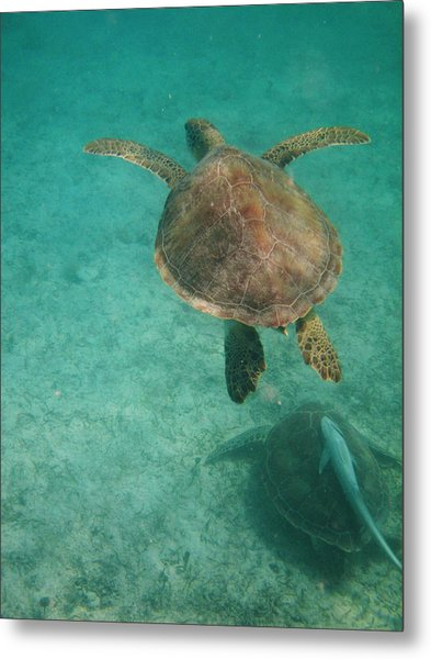 Swimming With Turtles Metal Print