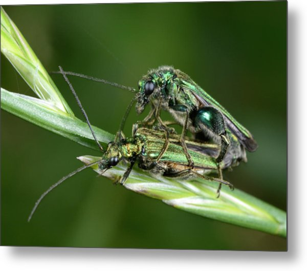 Swollen-thighed Beetles Metal Print