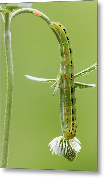 Sword-grass Caterpillar Metal Print by Heath Mcdonald