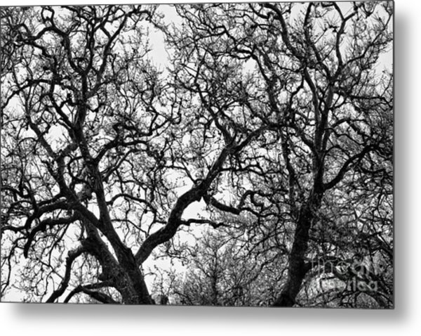 Sycamore And Sky Metal Print