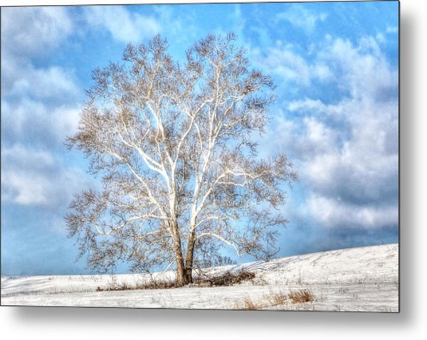 Sycamore Winter Metal Print