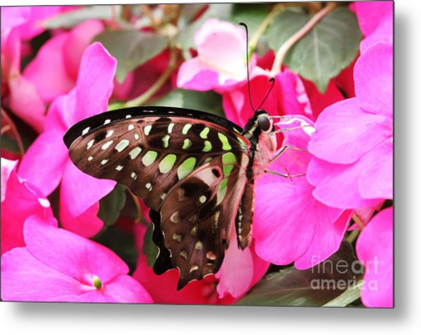 Tailed Jay Butterfly #4 Metal Print