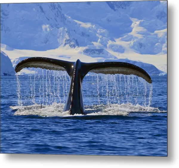 Tails From Antarctica Metal Print