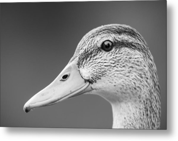 Talk Like A Duck Metal Print