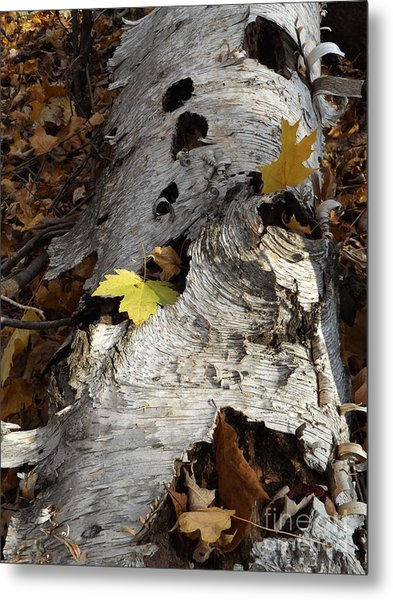 Tall Fallen Birch With Leaves Metal Print