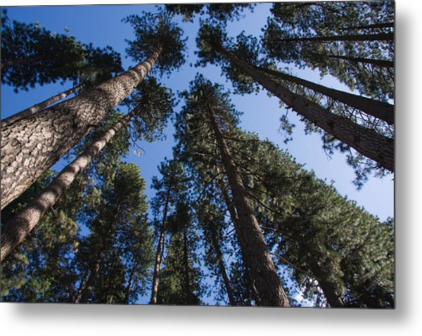 Talls Trees Yosemite National Park Metal Print