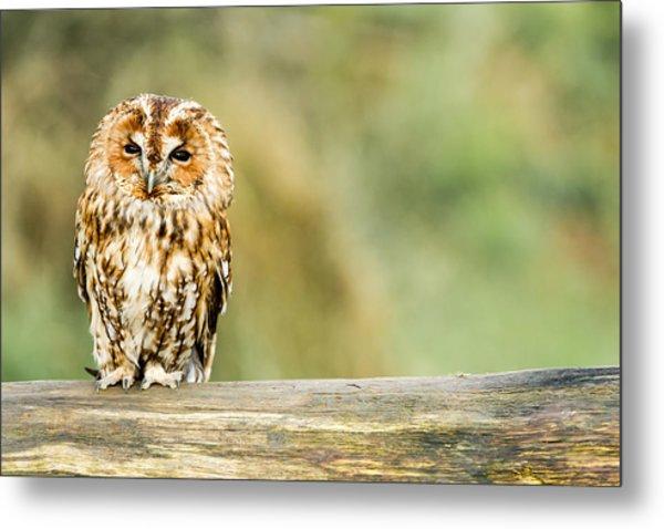 Tawny Owl Metal Print by George Cox