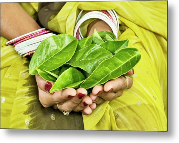 Tea Leaves In Hands Metal Print by Lea Paterson/science Photo Library