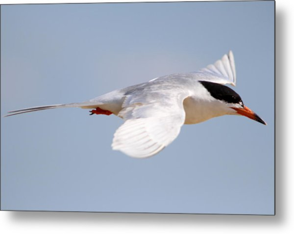Tern Bird Metal Print by Diane Rada