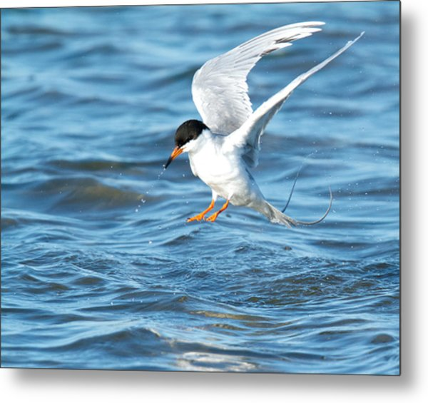 Forster's Tern Taking Flight Metal Print