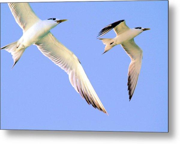Terns In Flight Metal Print