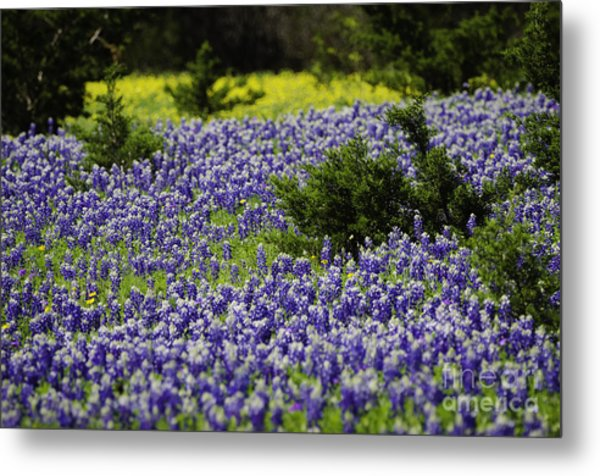 Texas Bluebonnets 1 Metal Print by Richard Mason