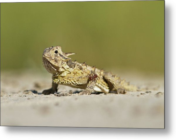 Texas Horned Lizard (phrynosoma Cornutum Metal Print