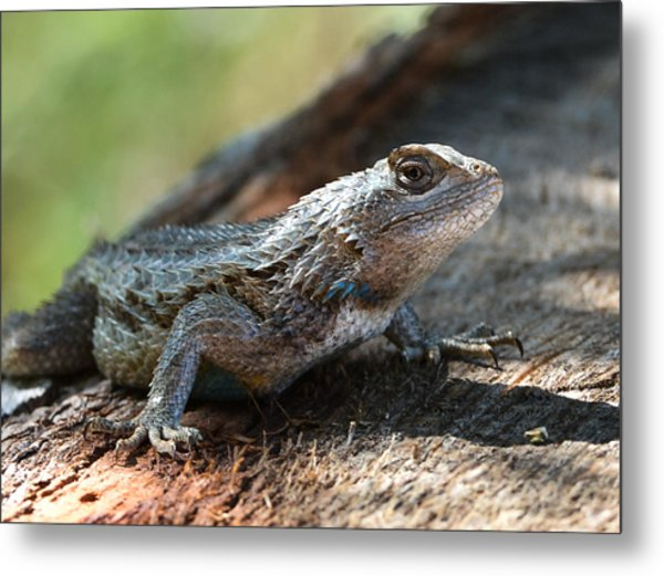 Texas Lizard Metal Print
