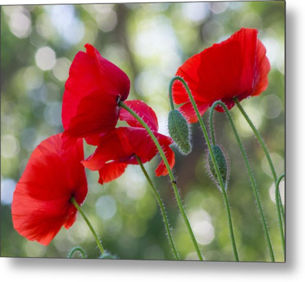 Texas Poppies Metal Print by April Nowling