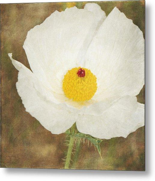 Texas Prickly Poppy Wildflower Metal Print