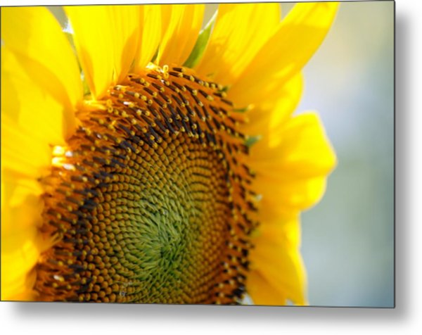 Texas Sunflower Metal Print