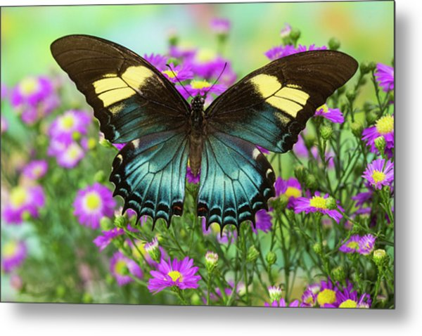 The Androgeus Swallowtail, Queen Page Metal Print by Darrell Gulin
