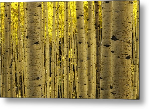 The Aspen Tree Forest Metal Print