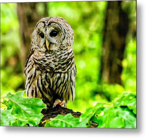 The Barred Owl Metal Print
