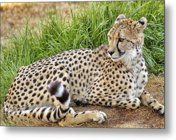 The Beautiful Cheetah Metal Print