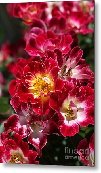 The Beauty Of Carpet Roses  Metal Print