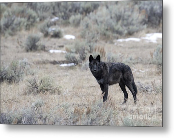 The Black Wolf Metal Print