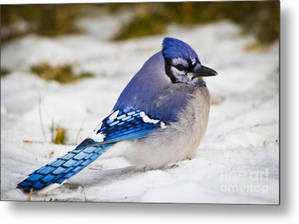 The Bluejay Metal Print by Ricky L Jones
